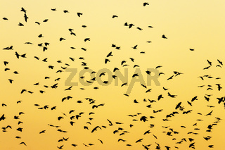 Silhouettes of a large flock of birds at dusk