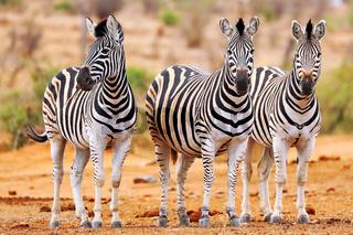Steppenzebras, Südafrika, Kruger Nationalpark, South Africa, Plains Zebras, South Africa