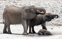 african elephants in Namibia, Loxodonta africana