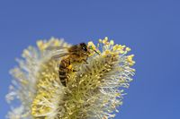 bee on a catkin