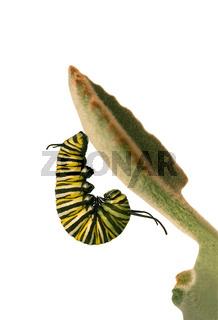 Monarchraupe - danaus plexippus caterpillar -