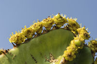 Kandelaber-Baum (Euphorbia candelabrum)