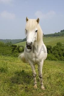 Islandpferd, Islandpony, Icelandic horse, Vulkaneifel, Deutschland, Germany
