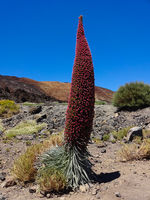 red tower of jewels flower (Echium wildpretii),  flower of Tenerife in the Spanish Canary Islands