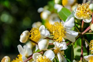 White flowers of Calophyllum inophyllum