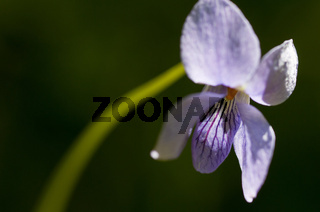 Grossporniges Veilchen, Viola selkirkii (englisch: Great spurred violet, Selkirk´s violet; schwedisch: Dalviol; norwegisch: Dalfiol), Rena, Hedmark, Norwegen