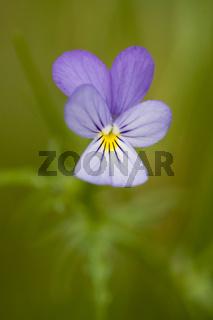 Gewoehnliches Stiefmuetterchen, Viola tricolor, Heartsease