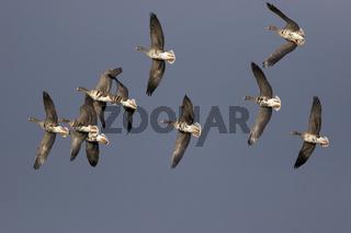 Blaessgaense, im Flug, Anser albifrons, White fronted geese, flying