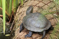 European pond turtle