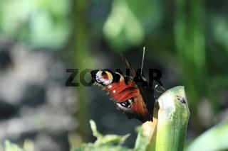 Schmetterling, tagpfauenauge im licht