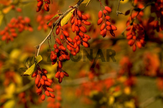 Sauerdorn Berberitze (Berberis vulgaris) Barberry