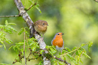 Male robin with juvenile fledgling on a tree with natural green background