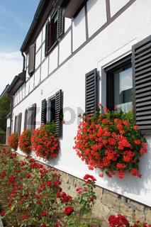 Pelargonium, Pelargonien, geraniums