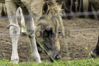Grasendes Fohlen, wild lebende Pferde im Merfelder Bruch, Dülmen, Nordrhein-Westfalen, Juni,