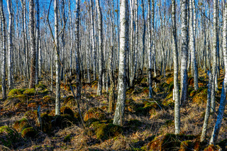 Birch tree forest on a Swamp