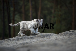 auf dem Felsplateau... Königstiger *Panthera tigris tigris*