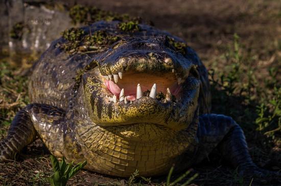 Yacare Caiman, crocodile in Pantanal, Paraguay