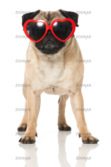 Pug with heart glasses