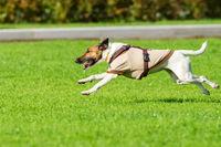 running dog on grass