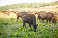 Bisons on pasture