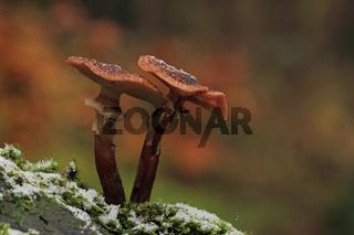 Hallimasch (Armillaria mellea)