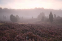 misty sunrise over flowering heather hills