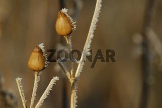 bouquet vereister Samenkapseln  - wintry bolls