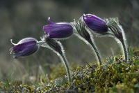 Genuine Kitchen Clamp (Pulsatilla vulgaris)