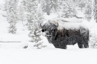 im dichten Schneetreiben... Amerikanischer Bison *Bison bison*