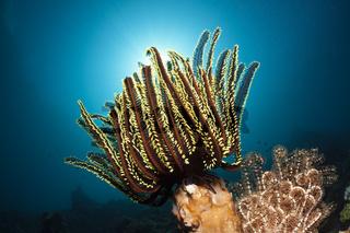Prachthaarstern am Riff, Indonesien