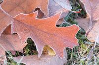 oak leaves with diamond dust