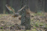 owl in flight... Indian Eagle Owl *Bubo bengalensis* flying through a forest