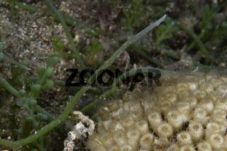 Caulerpa racemosa, Kriechsproßalge, Killeralge