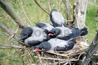 Nestling of the crow in the nest