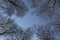 spring is coming... Tree tops *Fagus sylvatica*