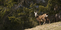 wild chamois flees into the forest
