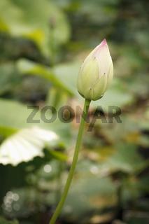 Lotosblumen (Nelumbo) mit wasserabweisenden Blättern.