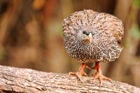 Spurfowl, Kruger NP, South Africa