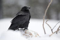 sitting on snow covered ground... Common Raven *Corvus corax*