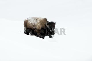 ganz in Weiss...  Amerikanischer Bison *Bison bison*