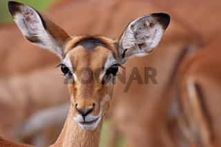 Impala, Schwarzfersenantilope, Südafrika, South Africa, Aepyceros melampus