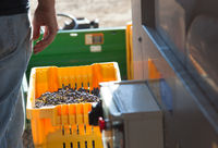Vintner Standing Next To Crate of Freshly Picked Grapes
