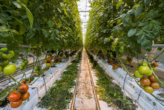 Tomato Nursery Greenhouse