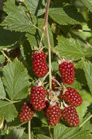 Detailed view of a bramble