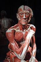 Präparat, Plastinat, Körper eines sitzendes Mannes,  Menschen Mu
