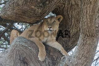 Löwin auf der Lauer im Serengeti Nationalpark