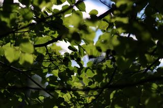 leaf tree background backlight sunlight