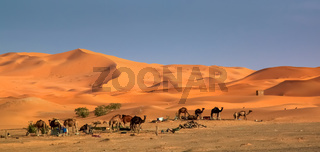 Camels at the dunes
