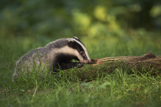 European Badger * Meles meles * in best light