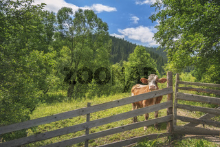Cow behind a fence in alpine scenery